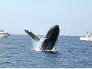 ※全額返金制度あり※【那覇発】冬季限定ホエールウォッチング!高速船でクジラに会いに行くツアーの様子