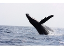 【沖縄 座間味 慶良間】鯨(クジラ)を目の当たりにする感動 ホエールウォッチングの様子