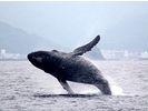 【鹿児島・奄美】遭遇率No.1!クジラを見に行こう!ホエールウォッチングツアーの様子