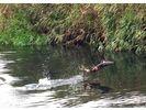 【北海道・登別温泉】鮭の遡上見学ツアーの様子