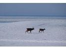 【北海道・知床】エゾシカや野鳥を観察!スノートレッキングの様子