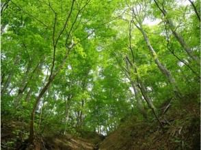 【Aomori · Shirakami Sanchi】 Trekking / Beech Forest Walking Road Fulfilling Course feels mysterious nature with five senses! Image of