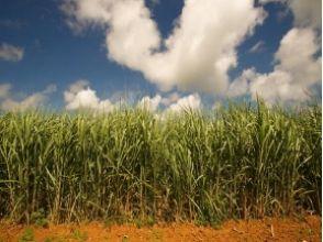 【沖縄・本部】沖縄文化体験!サトウキビ収穫1日お手伝いプランの画像