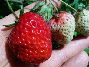 【京都・亀岡】有機栽培イチゴ狩りプラン
