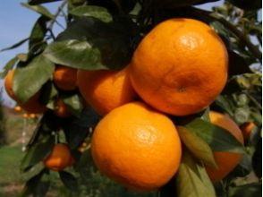 "[Saga Saga] whopping all-you-can-eat! Takeaway that can also be of ""mandarin orange hunting"" image"