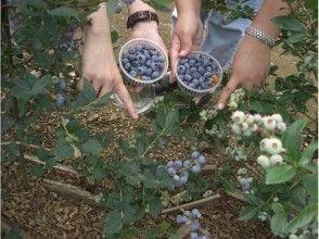 【千葉・八街】大粒のブルーベリーを食べ放題![30種類/時間無制限]