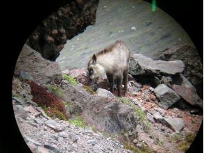 [Nagano Tateshina] Let's look for antelopes while walking in the mountains! Antelope trekking