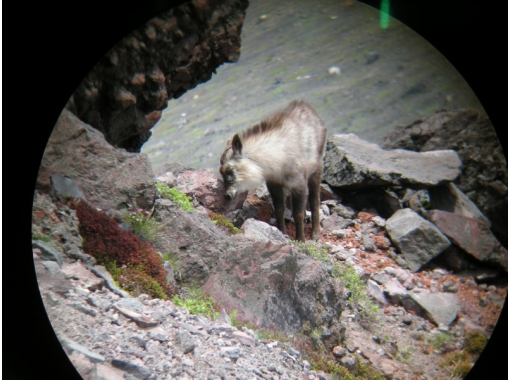 [Nagano Tateshina] Let's look for antelopes while walking in the mountains! Antelope trekkingの紹介画像