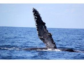 [โอกินาว่าสำนักงานใหญ่ของพอร์ตการเดินทาง] Whale Watching (หลักสูตรหนึ่งวัน) ※ระบบคืนเงินเต็มมี※ของภาพ
