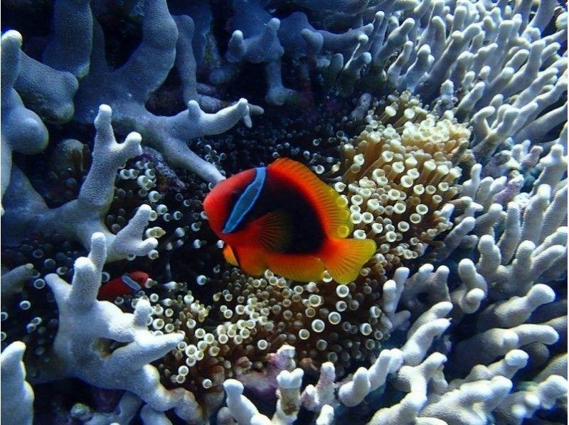 【沖縄・石垣島】サンゴお花畑をシュノーケリング!の紹介画像