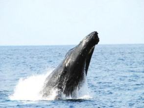 [沖繩北方總部]只有冬天!小班豪華鯨魚的圖片看98%(半天課程)的相遇率