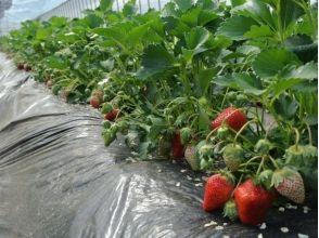 【福島・二本松市】いちご摘み&いちごもち作り!オーガニック野菜ランチ付き