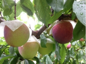 【Yamanashi / Koshu】 Takayo et al., Plum 40 minutes all-you-can-eat! + Images with souvenirs