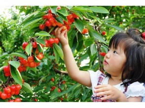 [Gunma / Numata] Red jewels welcome you ♬ Cherry hunting, all-you-can-eat for 30 minutes!
