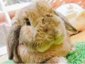 [Akihabara โตเกียว] 30 นาทีแน่นอนทดลองกระต่ายน่ารักและภาพคาเฟ่ Mofumofu Fureaeru