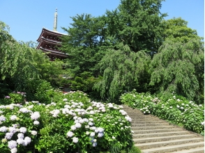 """Hydrangea Temple"" Mainland Temple & Keisei Rose Garden & Sakura Castle Ruins Park Seasonal flowers compete! 3 Tour of the Great Flower Tour 【9894】"