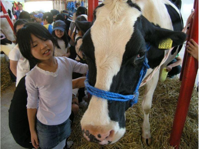 [北海道摩週接近]介紹了半天牧場體驗★奶牛農場的教育節目的圖像(含午餐)