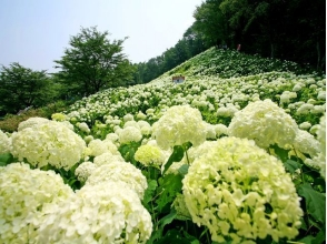 "Hydrangea hydrangea ""Annabelle's Snowy Mountain"" and Takahata Fudo's Ajisai Buddhist Bath Tour & Lunch Biking 【9977】"