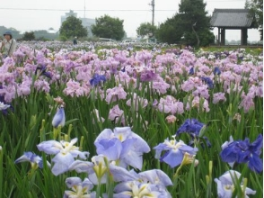 Ayame · Lavender Blue Festival & Edo Kawagoe Walking Tour - Lunch of Inamabe ~ 【10009】