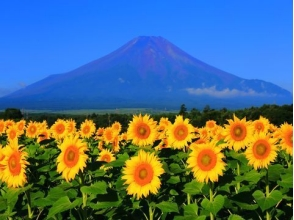 "World Heritage Site ""Fuji"" Fiveth Stage Walking & Takahara Sunflower Appreciation Bus Tour ~ Natural Wakasagi Lunch Included ~ 【10023】"
