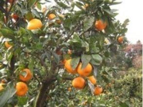 【静岡・伊豆熱川】オレンジ狩り・食べ放題 ♪の画像