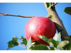 【Yamagata fruit hunt】 1 hour all-you-can-eat enjoy Enjoy the apple hunting experience! Image of