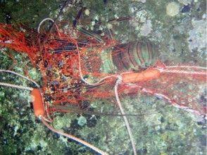 【鹿児島・奄美大島・漁業体験】海の幸をからめ捕り!イセエビ刺し網漁ツアー