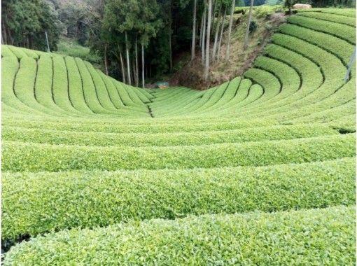 【京都・宇治】ガイド付きで茶畑ハイキングと茶摘み体験~店舗で茶葉の実食もあります!(英語OK)