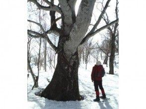 【北海道・黒松内町】巨木ウオッチング体験(選べる2コース)の画像