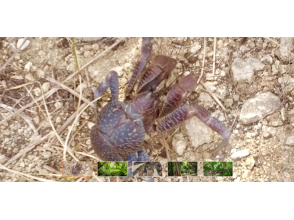 【Okinawa · Onna Village】 Doki Doki! Exciting coconut crab capture experience course