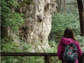 [配備了免費租借]讓我們去看看繩紋杉樹!形象