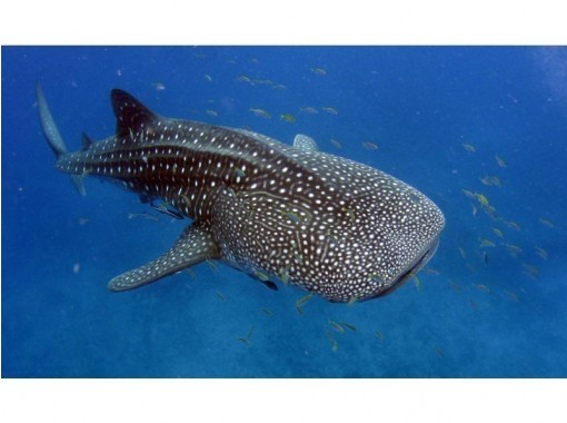 提供地区通用使用优惠券! !! [金贝鲨浮潜]孩子们还好!让我们和世界上最大的鱼金贝鲨一起游泳吧!の紹介画像