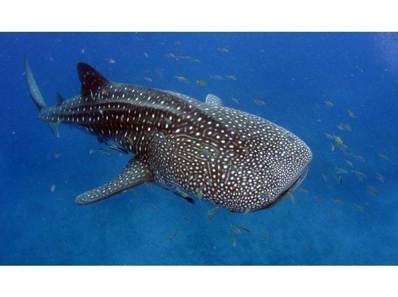 【ジンベエザメ・シュノーケリング】お子様もOK! 世界最大の魚類ジンベエザメと泳ごう!の紹介画像