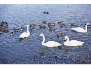 【宮城県・伊豆沼】感動!冬の渡り鳥観察の画像