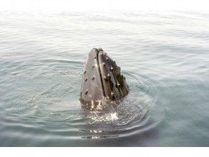 ''那覇発''専用大型クルーザーで野生のクジラに会いに行こう【ウェルカムドリンク付】の画像