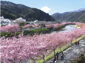 "Go with Odakyu Romance Car! Honshu's first early-bloom cherry tree ""Kawazu Sakura Festival"" appreciation bus tour 【11492】"