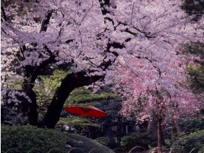 Japanese garden of Hachiyuen and lunch of Sakura Ozaki & cherry blossom viewing cherry blossom viewing bus tour full of blooming cherry blossoms in full bloom 【11624】