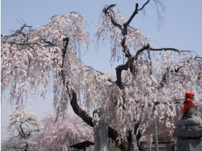 100 years old Hidemizu 's weeping cherry blossoms & treasure trout shrine sakura tunnel appreciation bus tour ~ Japanese food menu included ~ 【011762】