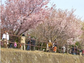 A cherry-blossom spot not known! National Institute of Genetics & Mishima Taisha Seven-color weeping cherry blossom viewing bus tour [11778]