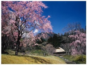 【Tochigi】 Elegant Japanese Garden 'Kogei Mien Garden' Cherry blossoms & cherry blossom viewing 雲 寺 寺 view & cherry corridor walkthrough bus tour 【11783】