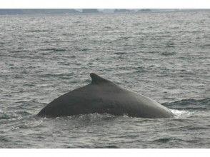 "[Kagoshima / Amami Oshima] Let's meet humpback whales in the sea of Amami Oshima! "" Whale watching """