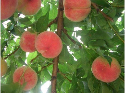 【山梨県・山梨市】桃狩りもぎ取り 30分食べ放題!冷し桃も♪ 日本一の桃の産地でこだわり栽培の紹介画像