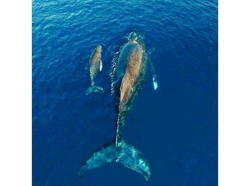 【沖縄・座間味】冬季12月〜4月限定!ケラマブルーの海でホエールウォッチング