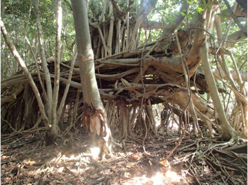 【屋久島】海岸線から世界自然遺産 西部林道トレッキングツアー【一日】の紹介画像