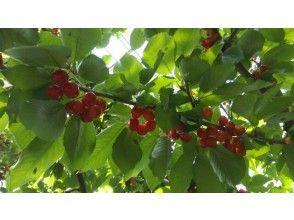 【山梨・山梨市】<さくらんぼ30分食べ放題>自然豊かな果物の産地でさくらんぼ狩り