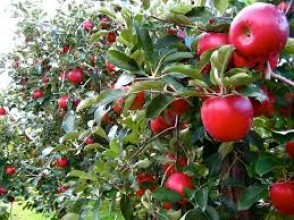 [Akita / Kazuno] Apple picking-The refreshing and sweet scent of apples that wrap the orchards in late autumn