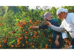 【에히메 · 우와 지마] 귤 수확 체험 & 감귤 소믈리에 강좌 ~ 감귤 소믈리에와 함께 도는 감귤의 세계!