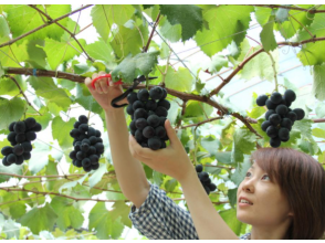 [Aichi / Okazaki City] Enjoy nature! Grape picking in a vineyard full of fun