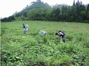 """[Yamagata Prefecture Hijiori Onsen] """"Authentic bracken picking experience + edible wild plants lunch"""" Bathing at Hijiori Onsen, a secret hot spring in 1210 ♪ It is a plan to enjoy Hijiori with lunch!"""