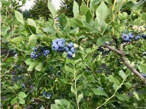 【秋田県・仙北市】小さなお子様も安心・無農薬こだわり栽培のブルーベリー園